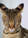 The 9 Most Expensive Cat Breeds In The World