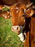 10 Largest Cattle Producing States in the US