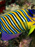 11 Most Expensive Tropical Fish in the World