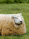 8 Countries that Produce the Most Sheep's Wool in the World