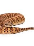 11 Most Venomous Snakes in Australia