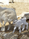 10 Easiest Goat Breeds to Raise