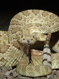 11 Most Venomous Rattlesnake Species in the World