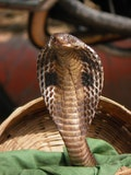 11 Most Poisonous Snakes in India